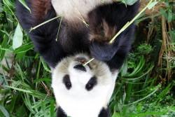 reverse panda